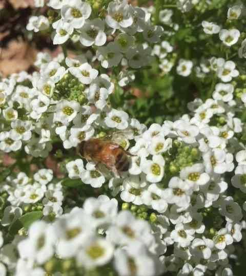 alyssum and bee