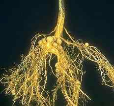 nitrogen fixing nodules